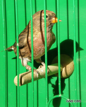 Redpoll in show cage