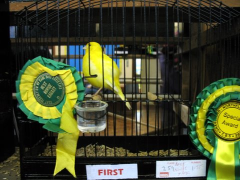 Winning Fife canary