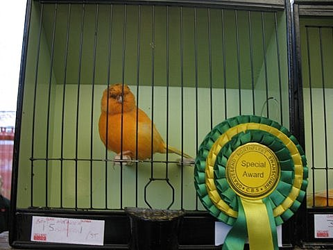 A winning Norwich canary