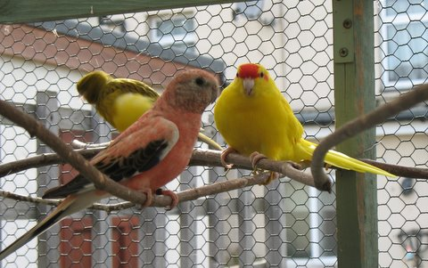 Fife canary, Rosa Bourke, and Kakariki next to each on the branch