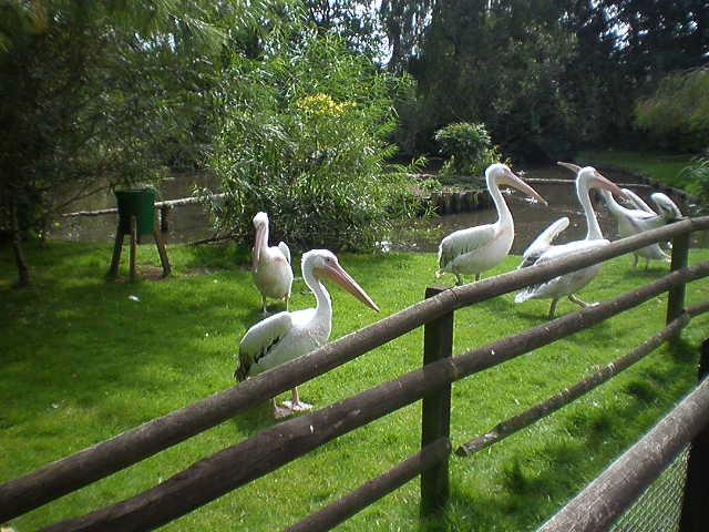 Pelicans at Birdworld in Surrey