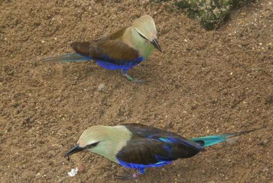 two blue-bellied rollers in the Blackburn Pavilion of London Zoo